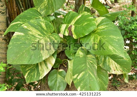 Pothos big green leaves in the park