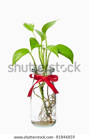 Pothos with red ribbon in transparent bottle