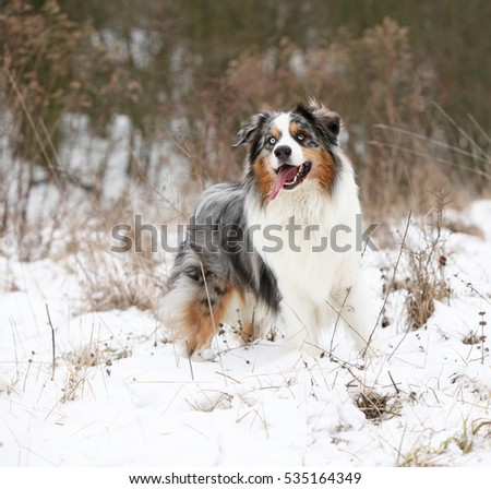 Potrait of Amazing australian shepherd in winter