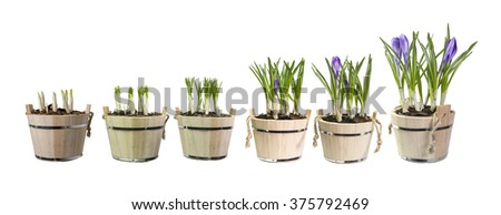 pots flower isolated  , growth , evolution, cultivation - stock photo