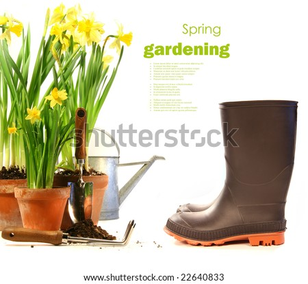 Pots of daffodils with rubber boots on white background - stock photo