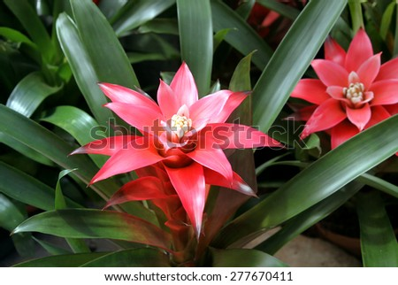 Pots with decorative flowers Guzmania lingulata - stock photo