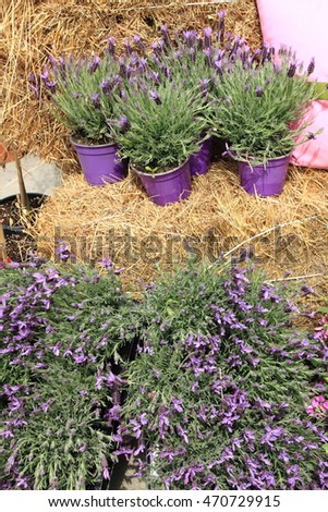 Pots with lavender flowers