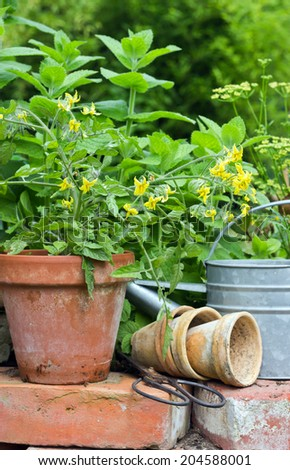Pots with tomato plant and herbs/flower pots/garden