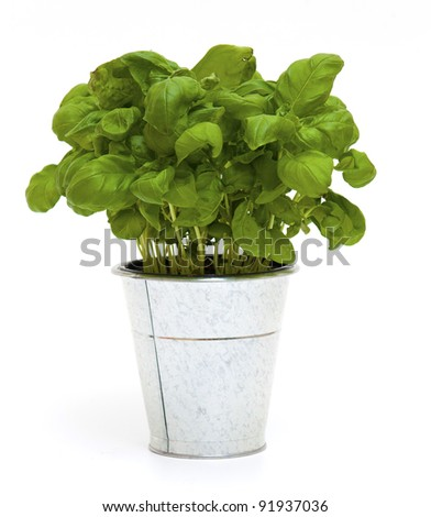 potted basil on white background