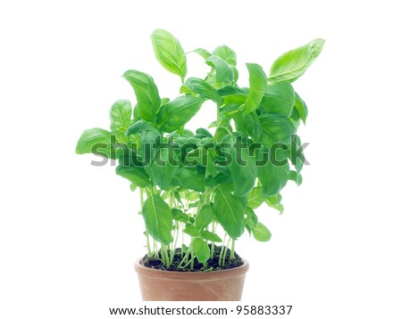 potted basil plant on white