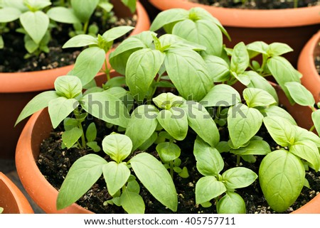Potted Basil Plants - stock photo