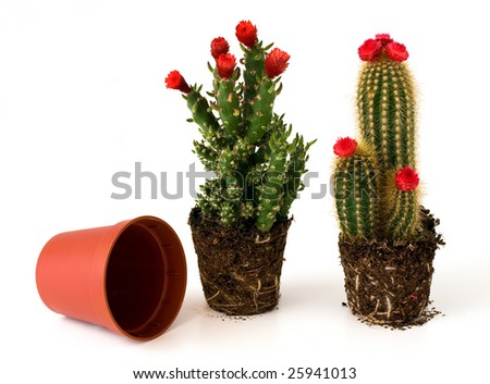 Potted cacti with flowers - stock photo