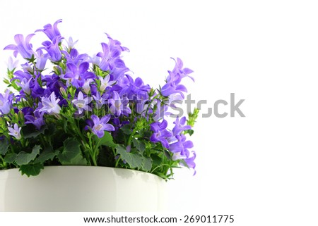 Potted Campanula Portenschlagiana isolated on white background - stock photo