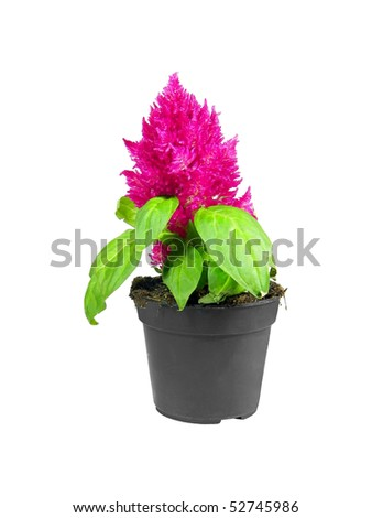 Potted Celosia Argentea Plumosa isolated over white background - stock photo
