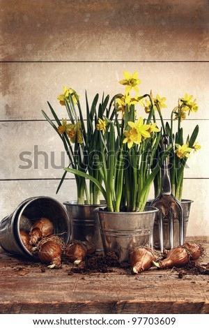 Potted daffodils with bulbs for spring planting - stock photo