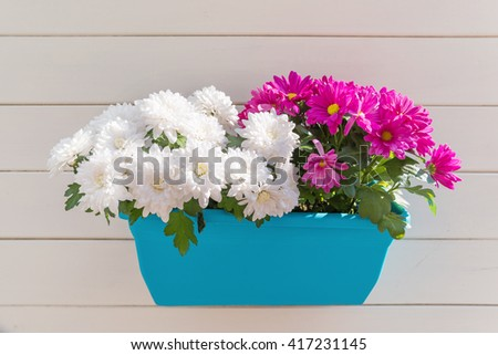 Potted flowers of chrysanthemum. Street decoration with plants and flowers. Moscow, Russia.