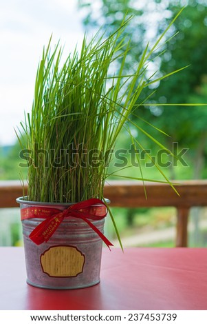 Potted grass ribbons, Christmas gift - stock photo