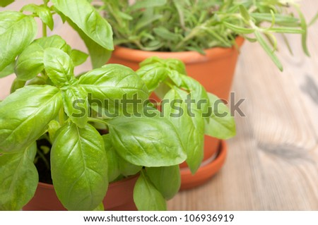 Potted Herbs - Basil and Rosemary on Wooden Table - Shallow Depth of Field - stock photo