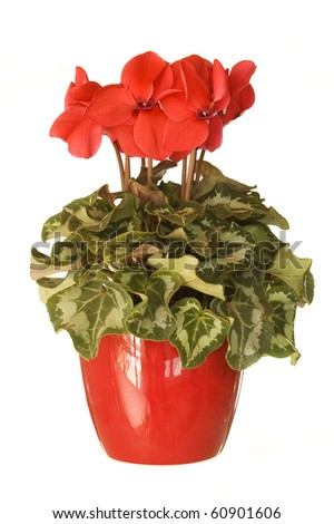 Potted houseplant pink cyclamen isolated on white background - stock photo