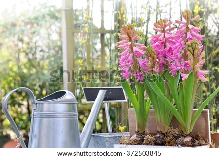 Potted hyacinths with gardening accessories in garden - stock photo