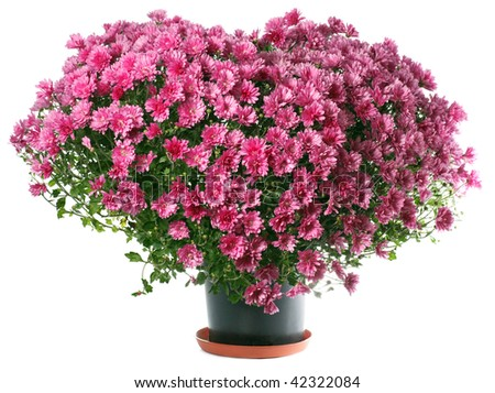 Potted magenta chrysanthemums bush in heart shape (isolated on white background) - stock photo