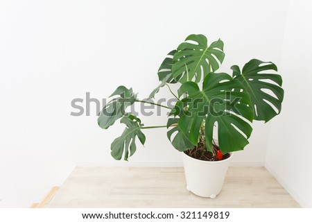 Potted Monstera placed in the room - stock photo