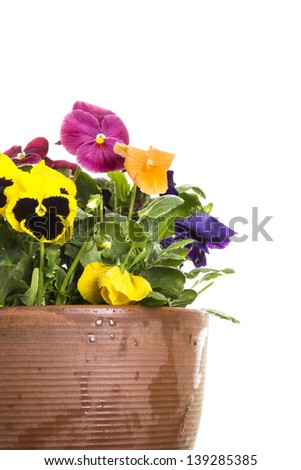 Potted pansies. The pansy is a group of large-flowered hybrid plants cultivated as garden flowers. Pansies are derived from viola species