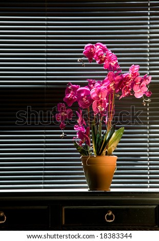 Potted pink orchid on black table top in front of black venetian blinds - stock photo