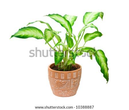 potted plant dieffenbachia, isolated on white - stock photo