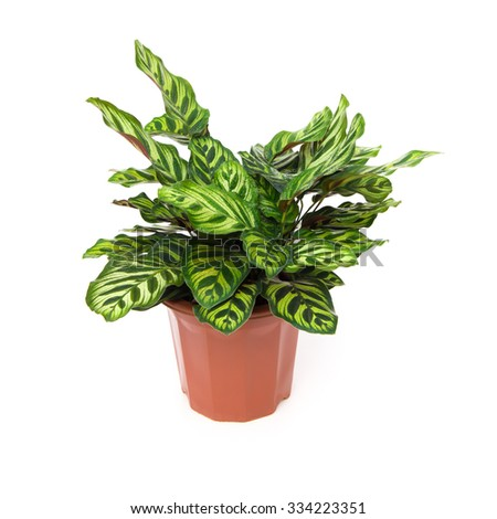 potted plant of  Calathea makoyana on a white background - stock photo