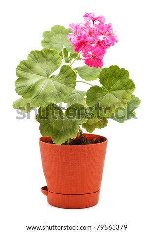 potted plant of geranium isolated on white - stock photo