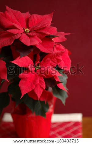 Potted poinsettia plant with red background - stock photo