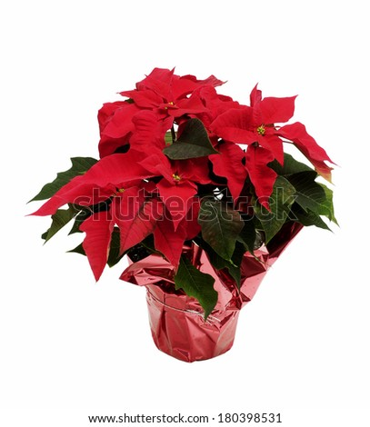 potted poinsettia with pink foil on white background  - stock photo