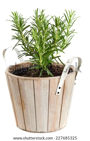Potted rosemary over white background - stock photo