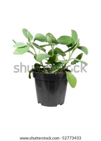 Potted sage(Salvia Officinalis) isolated over white background - stock photo