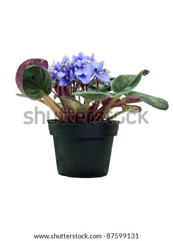 Potted Saint Paulia isolated over white background - stock photo