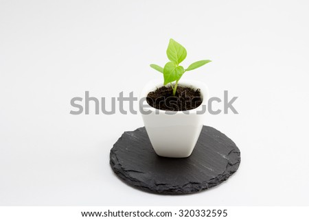 potted seedling pepper