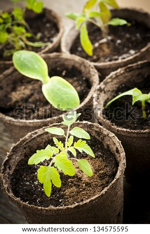 Potted seedlings growing in biodegradable peat moss pots close up - stock photo