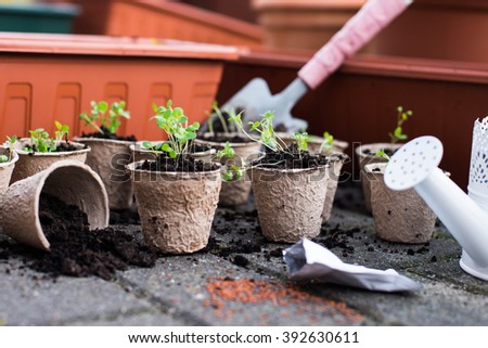 Potted seedlings growing in biodegradable peat moss pots from above. Seedling in fiber pots.  - stock photo
