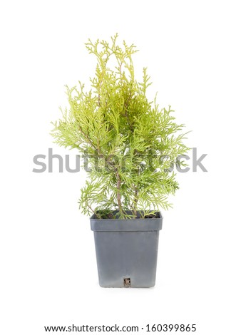 Potted thuja tree over white background