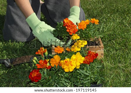 Potting colorful flowers outdoors during spring - stock photo