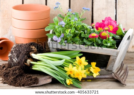Potting daffodils, forget-me-not or primroses in springtime
