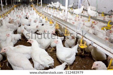 Poultry farm - stock photo