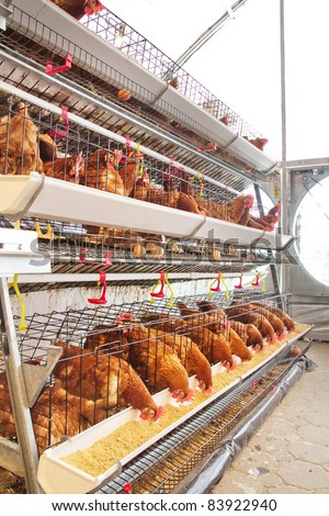 Poultry farm (aviary) full of brown chickens - stock photo