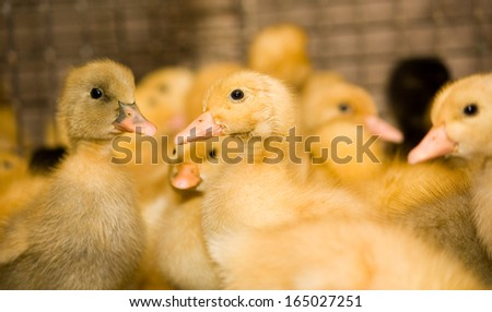 Poultry farm. Ducklings