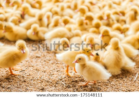 Poultry farm. Ducklings - stock photo