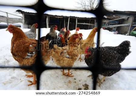 Poultry in a winter's day - stock photo