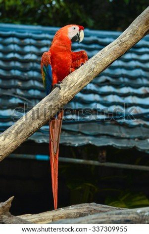 Poultry is a family Psittacidae Macaw is a large bird family hookworm. Popular culture because the colors are beautiful, tame and could imitate people. - stock photo