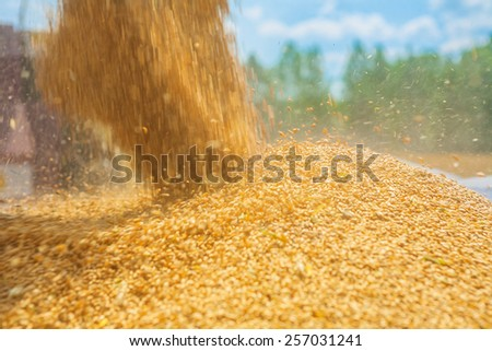 pouring corns of wheat in harvesting instagram stile close up - stock photo