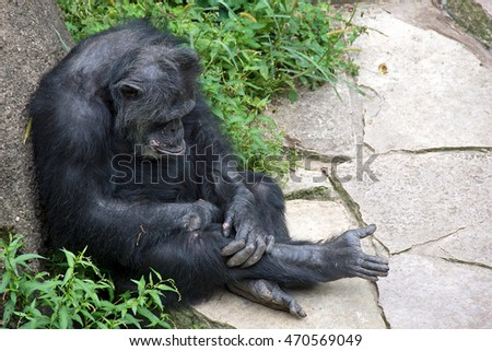 pouting chimpanzee leaning on rock in weeds