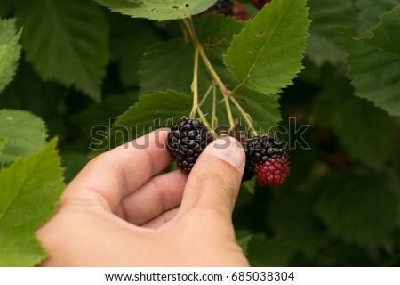 stock-photo-pov-picking-wild-blackberrie