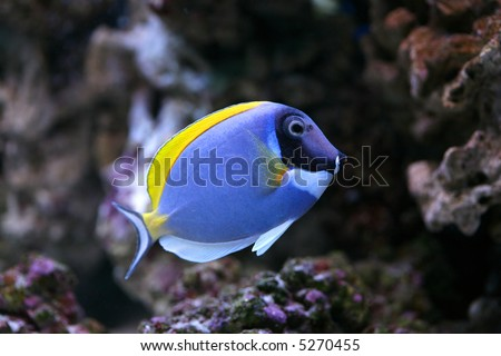 Powder-Blue Sergeonfish Scientific Name: Acanthurus leucosternon