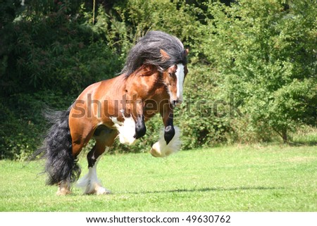 "power and engery, mucular Irish cob stallion bocking in the field ""Irish Cob"" , ""Irish Tinker"" Tinker , mane and tail - stock photo"