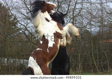 Power and engery - young stallions - stock photo